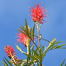 Red Grevilleas by TheaShutterbug