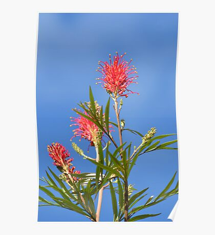 Red Grevilleas Poster