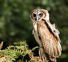 Asian Brown Wood Owl by Ellesscee