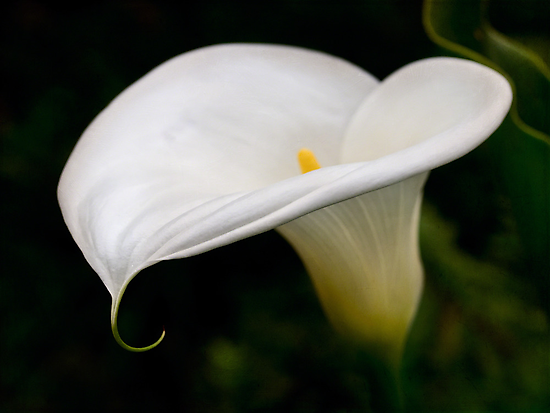 The classic calla by Celeste Mookherjee