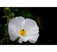 Waiting for You - Mexican Prickly Poppy Photographic Print