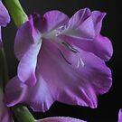 Lavenderomance by LavenderMoon