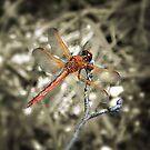 Scarlet Skimmer Dragonfly by Sharon Woerner