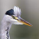 Grey Heron Portrait by Ellesscee