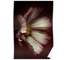 The portrait of a Cosmos Flower Poster