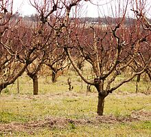 apple orchard 11 by madiyoung
