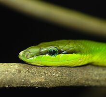 Green Tree- Snake. by Loachlover