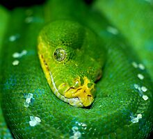 Green Tree Python. by Loachlover