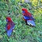 Crimson Rosellas. Cedar Creek, Queensland, Australia. by Ralph de Zilva