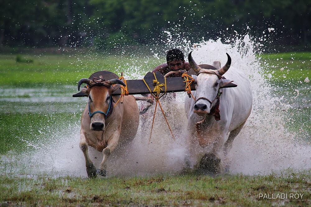 BULL RACE by PALLABI ROY