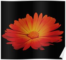 Marigold on black Poster