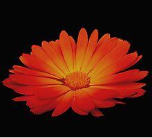 Marigold on black Photographic Print