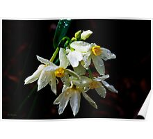 Weeping Narcissus Poster