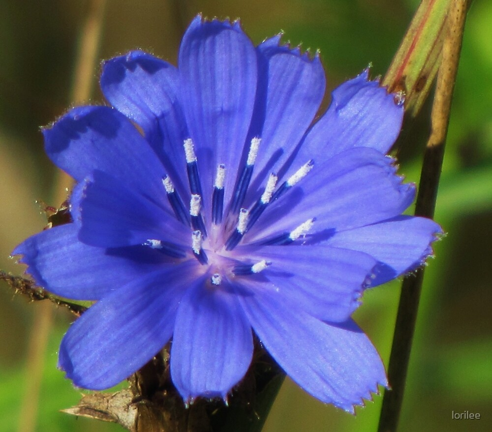 Common Chicory by lorilee