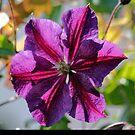 Purple Star. by Greybeard