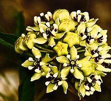 Green Antelope Horns Flower (Asclepias viridis)-Digital Interpretation by Paul Wolf