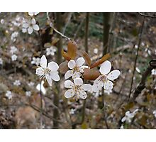 Wild Cherry Blossoms Photographic Print