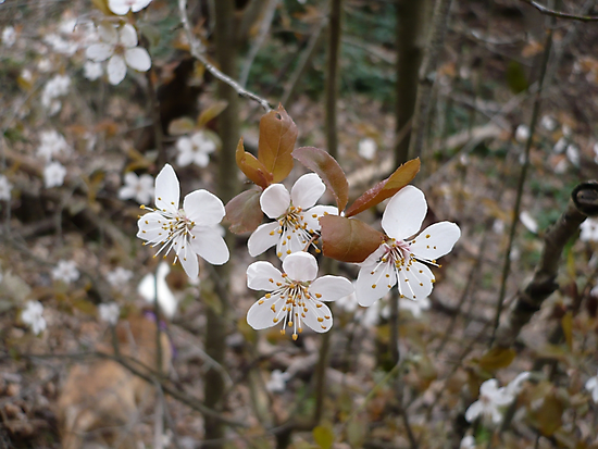 Wild Cherry Blossoms by Jess Meacham
