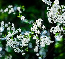 White Cherry Blossoms Green Leaves by luckypixel