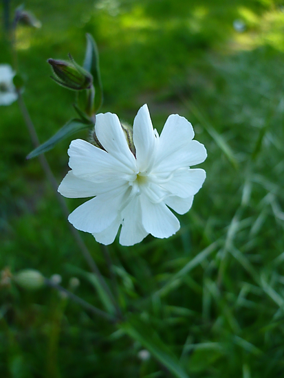 White Campion by Jess Meacham