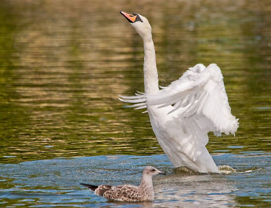 The Gull & Swan by M.S. Photography/Art