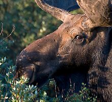 Moose portrait by Eivor Kuchta