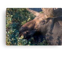 Moose portrait Metal Print
