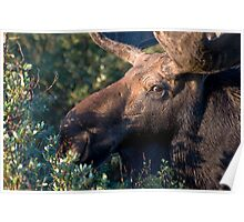 Moose portrait Poster
