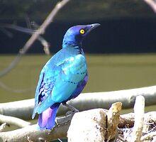 Beautiful Cape Glossy Starling by ivanfeltonglenn