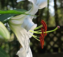 The Ever Graceful Casa Blanca Lily by Pat Yager