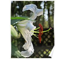 The Ever Graceful Casa Blanca Lily Poster