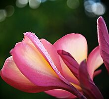 Frangipani in early morning light by Jennie  Stock