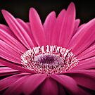 pink gerbera by Michelle McMahon