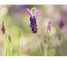 lavender.. Photographic Print