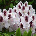 Rhododendron choir by MarianBendeth