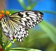 Paper Kite Butterfly by Poete100