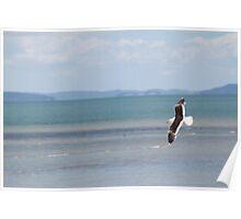 Sea Gull in flight, Coromandel Peninsula, New Zealand Poster