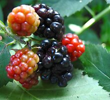 Polished blackberries by MarianBendeth