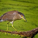 Black Crowned Night Heron On The Prowl by John Absher