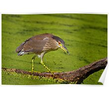 Black Crowned Night Heron On The Prowl Poster