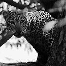 Animalia III - African Leopard by Oliver Parish
