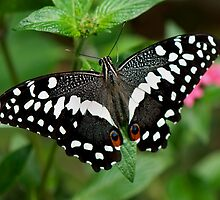 Citrus Swallotail by Joann Vitali