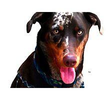 Doberman Australian Shepherd Cattle Dog Photographic Print