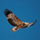 Sea Eagle by Werner Padarin