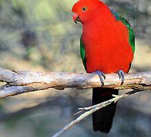 Male King Parrot. Cedar Creek, Qld, Australia. (2) by Ralph de Zilva