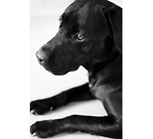 Dogs - Black Labrador Photographic Print