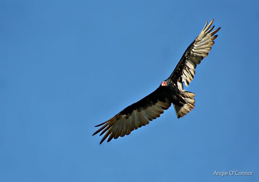 Turkey Vulture by AngieBanta