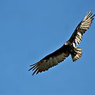 Turkey Vulture by AngieBanta