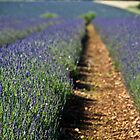 Lavender by Billy Hodgkins