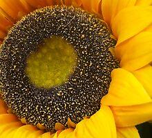 Sunflower by newbeltane